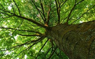 Großbäume