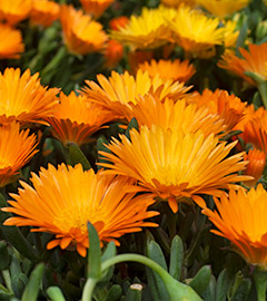 Gartencenter/Angebote/AB/2019/10Mittagsblumen.jpg