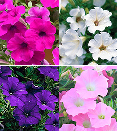 Gartencenter/Angebote/AB/2019/10Surfinia_Mix.jpg