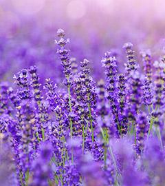 Gartencenter/Angebote/AB/2019/Lavandula_angustifolia.jpg