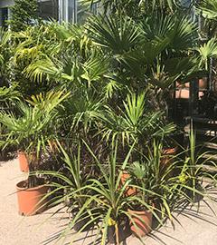 Gartencenter/Angebote/AB/2019/Palmen.jpg