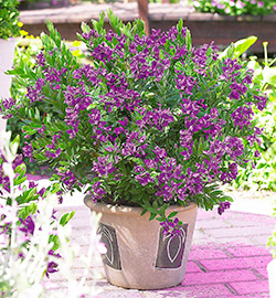 Gartencenter/Angebote/AB/2019/Polygala_myrtifolia.jpg