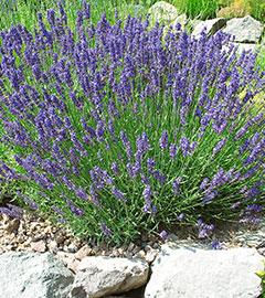 Gartencenter/Angebote/AB/Lavendel2.jpg