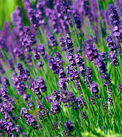 Gartencenter/Angebote/AB/Newsletter/2019/05Lavandula_angustifolia_Hidcote_Blue.jpg