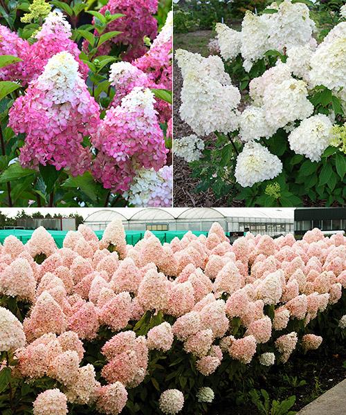 Gartencenter/Angebote/AB/Newsletter/2019/13Hydrangea_paniculata_Mix.jpg