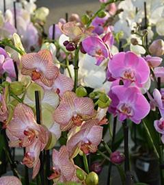Gartencenter/Angebote/AB/Orchidee_2.jpg
