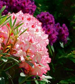 Gartencenter/Angebote/AB/rhododendron.jpg