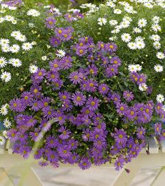 Gartencenter/Angebote/Wien/Brachsycome_Brasco_Violet_and_White.jpg