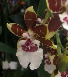 Gartencenter/Angebote/Wien/Orchidee_Cambria.jpg