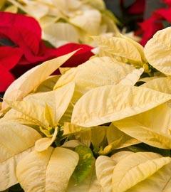 Gartencenter/Angebote/Wien/Weihnachtsstern-(Euphorbia-pulcherrima).jpg