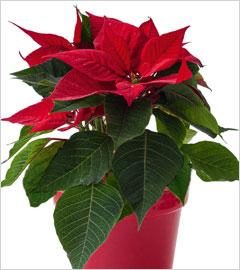 Gartencenter/Angebote/Wien/Weihnachtsstern-(Euphorbia-pulcherrima)_rot.jpg