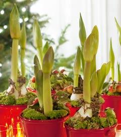 Gartencenter/Angebote/Wien/amaryllis.jpg