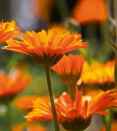 Gartencenter/Angebote/Wien/calendula-officinalis_ringelblume2.jpg