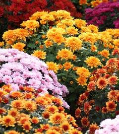 Gartencenter/Angebote/Wien/chrysanthemum_diverse01.jpg