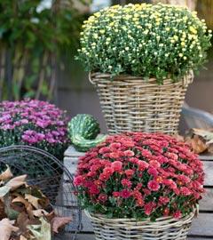 Gartencenter/Angebote/Wien/chrysanthemum_im_korb.jpg