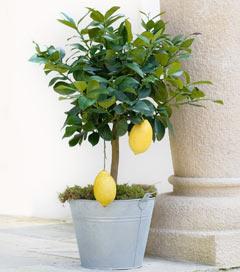 Gartencenter/Angebote/Wien/citrus_limon.jpg