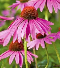 Gartencenter/Angebote/Wien/echinacea-purpurea.jpg