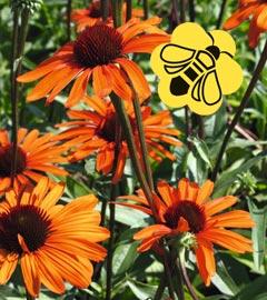 Gartencenter/Angebote/Wien/echinacea_orange_biene.jpg
