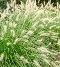 Gartencenter/Angebote/Wien/graeser_Pennisetum_alopecuroides.jpg