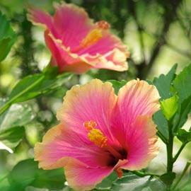 Gartencenter/Angebote/Wien/hibiscus_sinensis_rosa.jpg