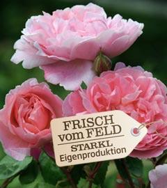 Gartencenter/Angebote/Wien/rose_rosa_fvf.jpg