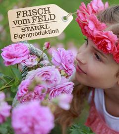 Gartencenter/Angebote/Wien/rosen_rosa_maedchen_fvf.jpg