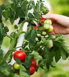 Gartencenter/Angebote/Wien/tomaten.jpg