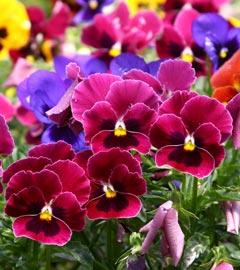 Gartencenter/Angebote/Wien/viola-div-farben.jpg