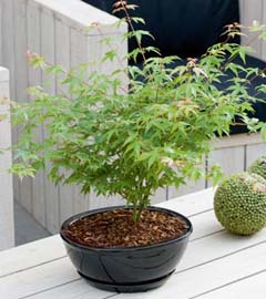 Gartencenter/Angebote/Wien/zimmer_bonsai.jpg
